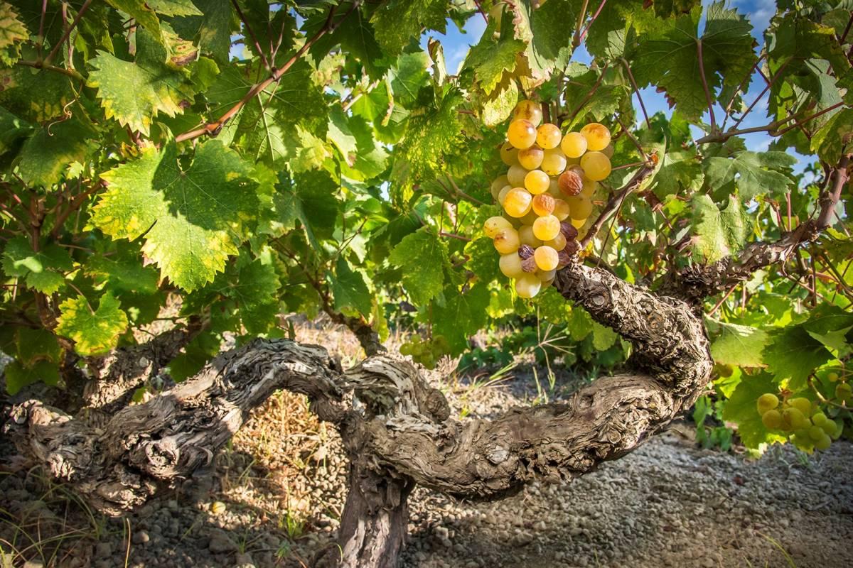 Cantine Pantelleria: visita e degustazione vini Donnafugata